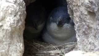 preview picture of video 'Little Blue Penguins - Natures Wonders Tour - New Zealand'