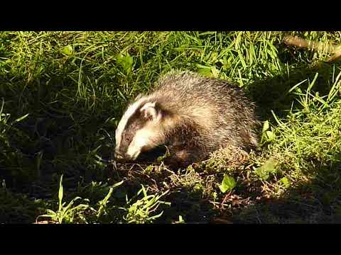 Daylight Baby Badger
