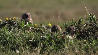 Burrowing Owl and Owlets