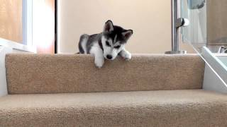 Husky Puppy Trying To Walk Down Stairs