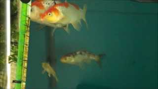 KOI SPAWNING EGGS IN FISH TANK