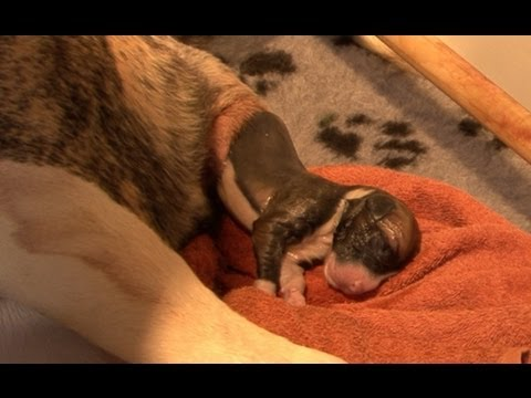 AMAZING! Staffordshire dog giving birth to 13 pups