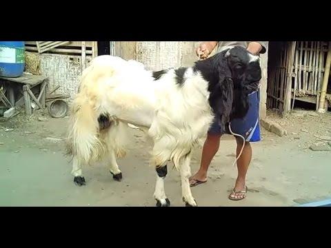 Video Cara jitu untuk ternak kambing etawa - Peternakan Kambing - Etawa Super (PE) - Kaligesing Purworejo