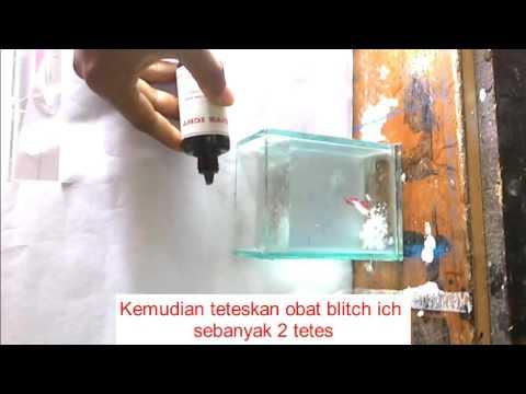 Video Pengobatan penyakit ikan cupang - velvet
