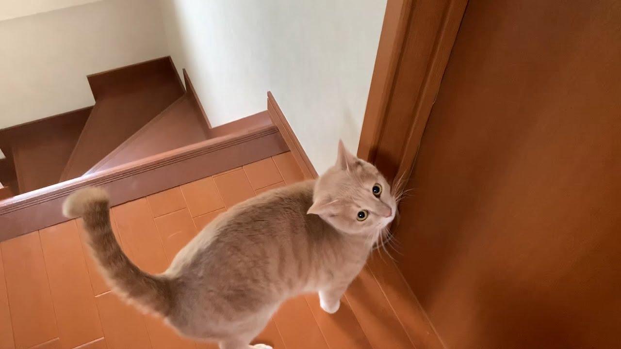 隣の部屋へ呼びに来る猫 #猫 #cat #部屋
