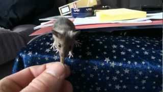 Tame House Mouse