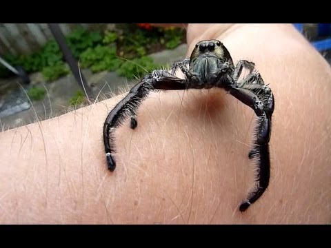 Biggest Jumping Spider EVER!! Is It You Lucas? Watch Till The End!