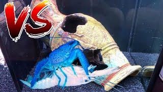 WHITE LOBSTER VS BLUE LOBSTER! BATTLE BREEDING For COLORFUL Crawfish BABIES!