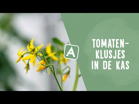 Tomatenklusjes in de kas: over krulkoppen en water geven