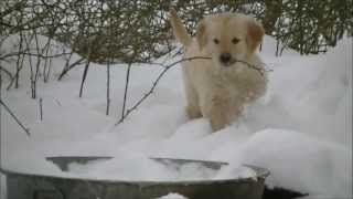 Adorable Golden Retriever puppies playing in the snow