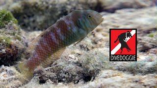 Meet the Green Razorfish