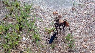 Жук жалит тарантула - Видео онлайн