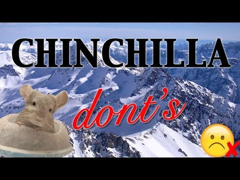 A Guide to a Chin Parent - Chinchilla Dont's (Part 2)