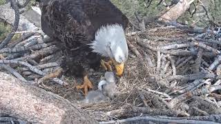 Big Bear Eagle Cam - SHADOW ALONE With Babies - FIRST TIME ! - 4/15/19