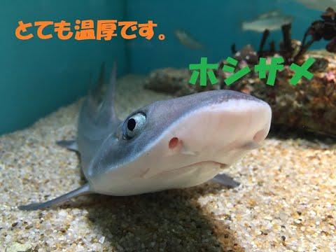 【とても温厚なサメ】ホシザメ