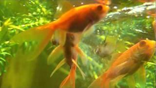 Мои домашние рыбки 2010 - успокаивающий видеоролик.