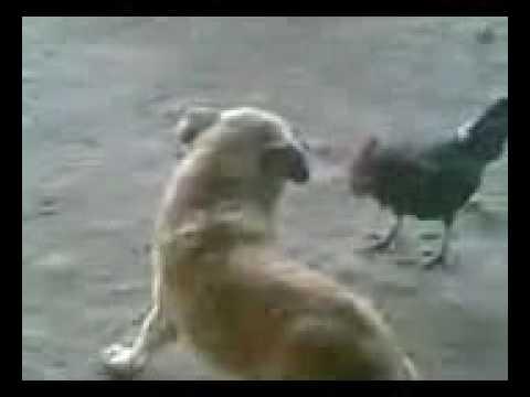 Une poule qui se fait agresser par un chien ne devrait