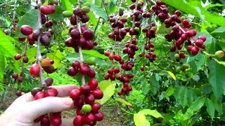 Make a Cup of Coffee Starting From Scratch | Coffea arabica |