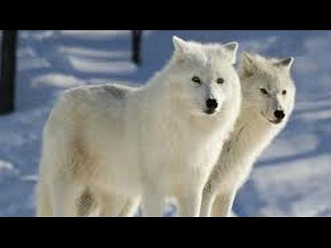 #Paws by Claws ep.7   #kristina kashytska #wolf toys