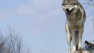 Дикий Йеллоустоун. Волчица.