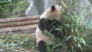 Video : China : Pandas at the ChengDu Research Center, SiChuan province - video