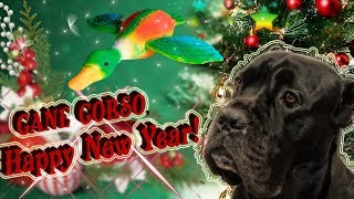 Подарок на Новый год для собаки Кане Корсо. #canecorso