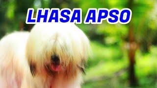 സുന്ദര കുട്ടൻ Lhasa Apso [ECO OWN MEDIA] Cute Puppy Malayalam