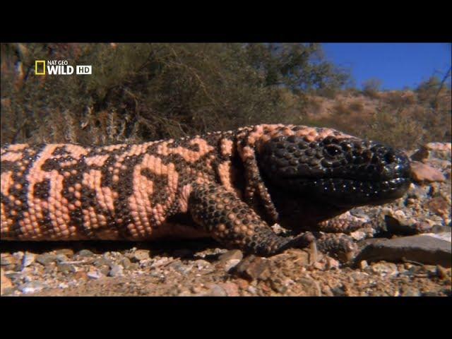 Самые опасные животные - от пустыни до саванны