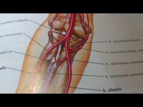 3 16 Артерии предплечья  Артериальная сеть локтевого сустава