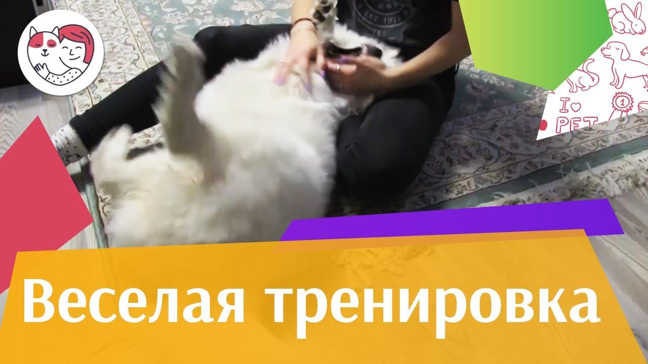 Собака пузяка тренируется на ilikepet