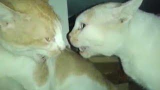 animale pisicile miauna