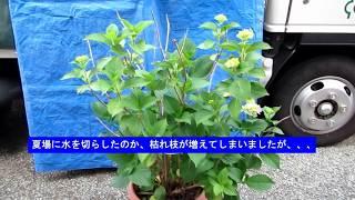庭木の手入れ:180602アジサイ②開花状況と切り花