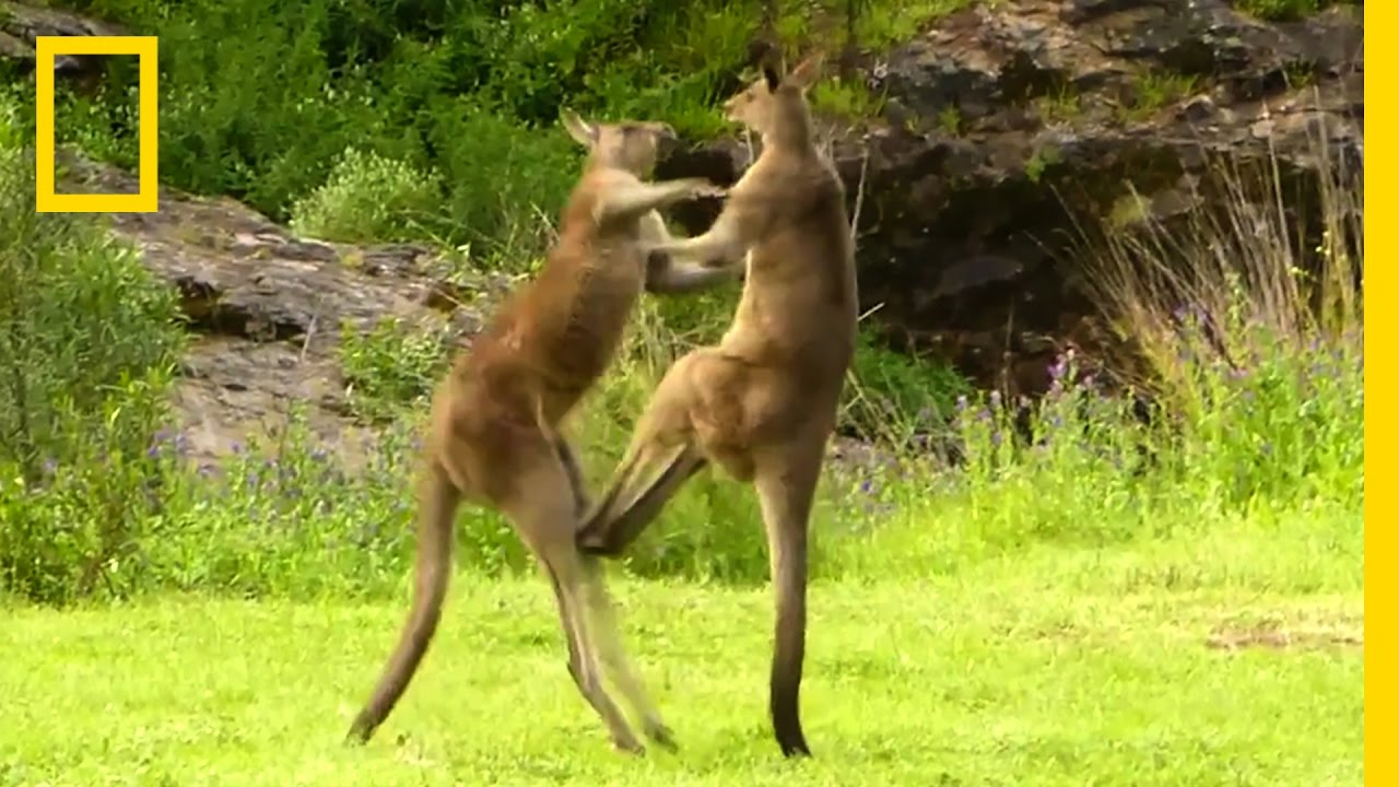 Kangaroo vs. Kangaroo | National Geographic thumbnail