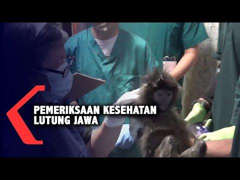 10 Ekor Lutung Jawa Jalani Pemeriksaan Kesehatan