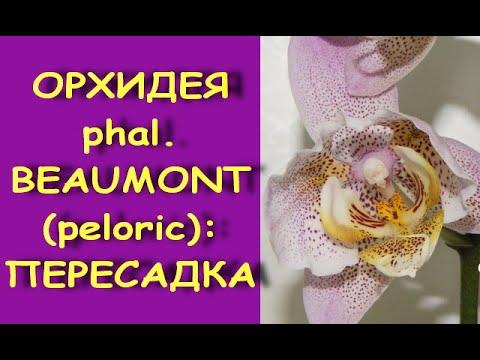 ОРХИДЕЯ меня ПОКИДАЕТ:пересадка ph.BEAUMONT (пелорик)+состояние на 12 день (досняла 16.09.20)