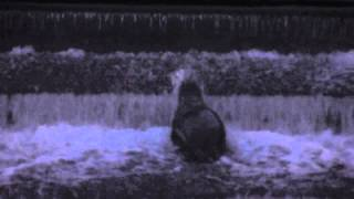 preview picture of video 'Seal climbing the weir on the River Lagan at Lisburn'