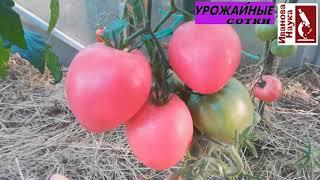 Обзор сортов томатов для теплиц видео