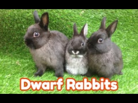 , title : 'Why Dwarf Rabbits Are the 3rd Most Popular Pet