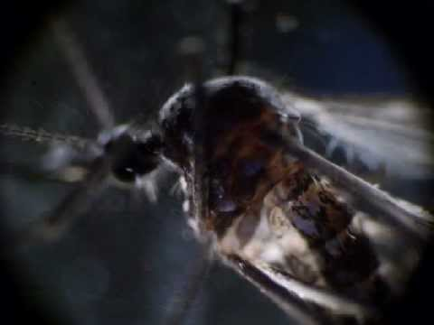Raccolga funghi un parassita su insetti