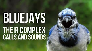 The Complex Calls of Blue Jays -Did You Know Birding? [HD]