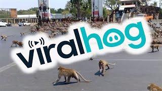 animales lleno de monos por la ciudad
