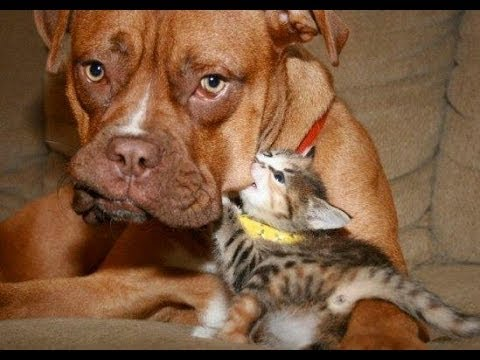 FUNNY VIDEOS: Funny Cats – Funny Dogs – Dogs Love Kittens – Funny Animals – Funny Cat Videos