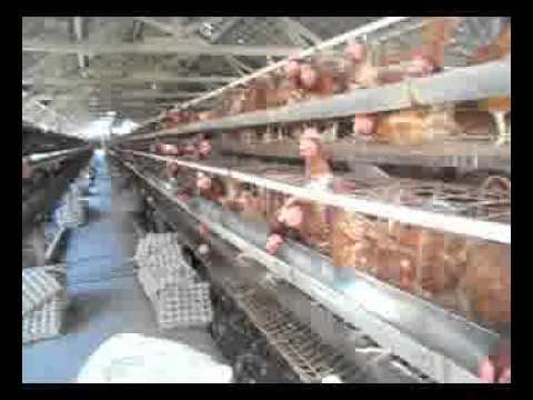 Video vidio cara ternak ayam dan ikan lele yang menguntungkan