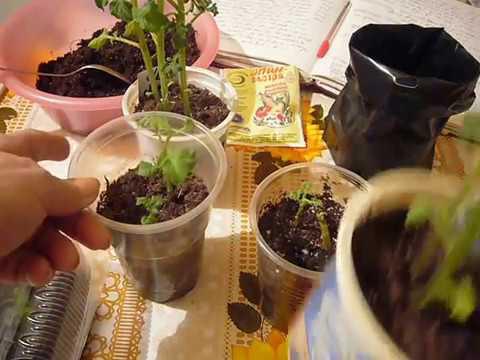 , title : 'Внимание,эксперимент! Выращиваем семенной картофель из глазков.