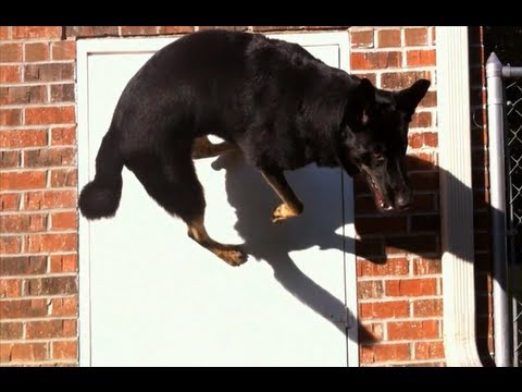How To Teach Your Dog To Rebound Off Walls