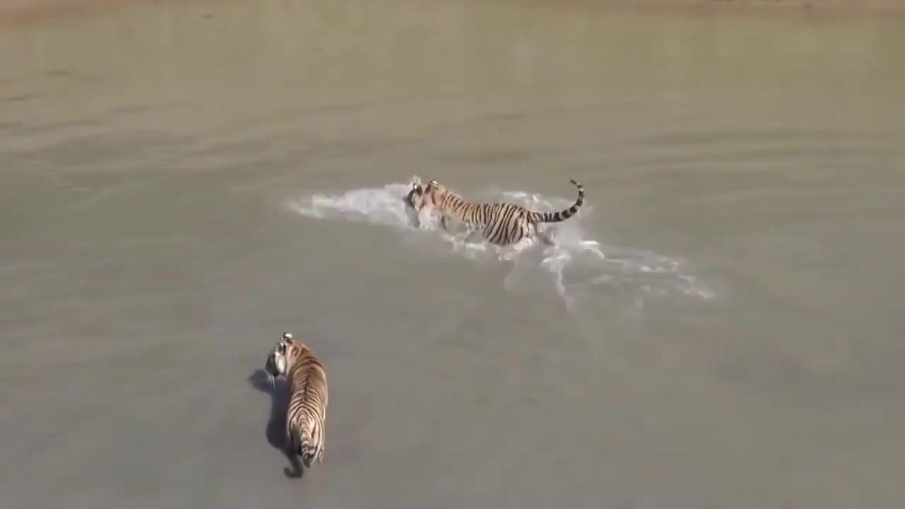 Утка троллит тигров
