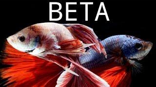 Balık Türleri: Beta (Betta Splendens)