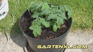 Tomate In Kübel / Topf Pflanzen Auf Terrasse Oder Balkon   Tomaten /  Paradeiser Anbauen