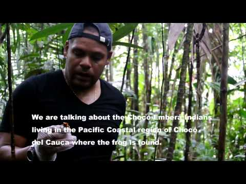 What it takes to conserve a rare & deadly species: golden poison frog