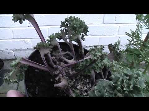 Exotic Gardening UK Yorkshire Kris Episode 55